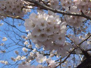 桜とつくし